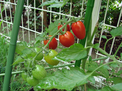 Tomato100705_3
