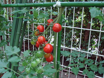 Tomato100705_4