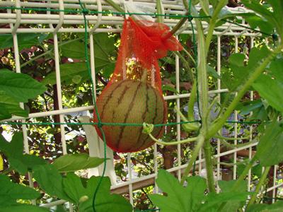 Watermelon1007182