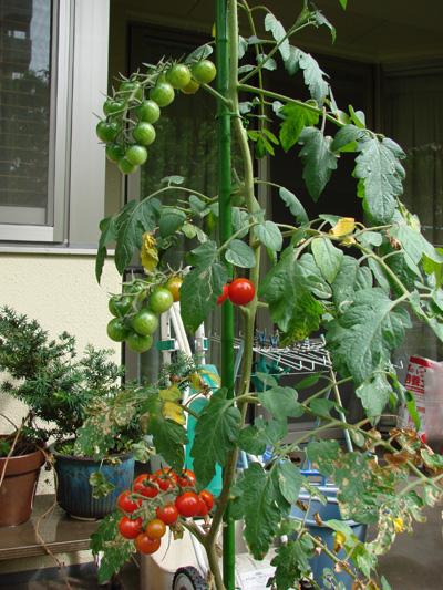 Tomato100731