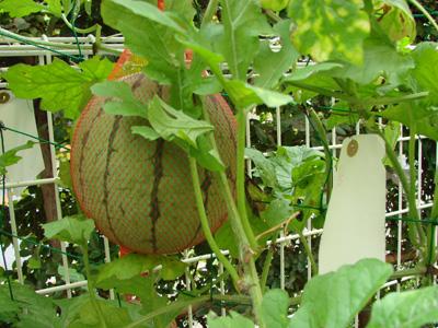 Watermelon100731