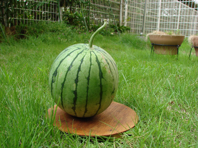 Watermelon1100808